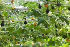 南瓜在菜园里 免版税库存图片