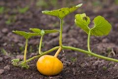 南瓜在菜园里 免版税库存照片