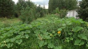 南瓜在领域的森林南瓜开花增长 影视素材