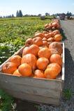 南瓜容器在一个南瓜补丁的在Gervis,俄勒冈 库存图片