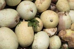 南瓜庄稼在墨西哥 免版税库存照片