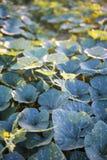 南瓜庭院在泰国 库存图片