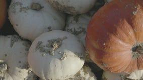 南瓜收获 万圣节例证南瓜被设置的向量 与南瓜的秋天农村土气背景 股票视频