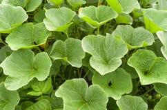 南瓜植物在有机菜园里。 免版税库存照片