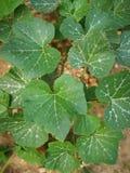 南瓜植物 库存照片