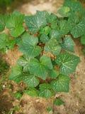 南瓜植物 免版税图库摄影