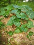 南瓜植物 免版税库存照片