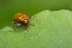 南瓜甲虫的图象在绿色叶子的 昆虫 敌意 免版税库存图片