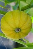 南瓜种植准备好被收获 图库摄影
