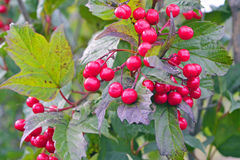 南瓜莓果或按钮莓果 免版税图库摄影
