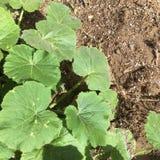 南瓜藤在春天庭院里 免版税库存照片