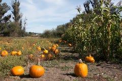 南瓜补丁和麦地在秋天 免版税库存照片
