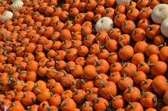 南瓜领域在秋天 免版税库存图片
