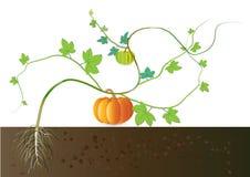南瓜,从地下根的生长南瓜 免版税库存照片
