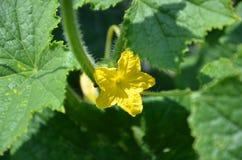 南瓜黄色花在佛蒙特 库存图片