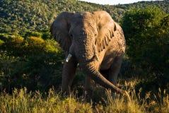 南的非洲大象 库存图片