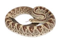 南美响尾蛇-响尾蛇durissus,毒,丝毫 免版税库存图片