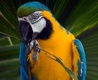 南美国五颜六色的金刚鹦鹉 库存照片