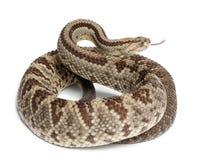 南美国响尾蛇durissus的响尾蛇 库存照片