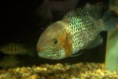 南美国的丽鱼科鱼 库存图片