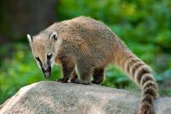 南美国的浣熊 库存照片