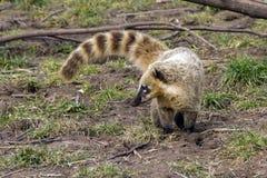 南美国的浣熊 图库摄影