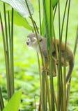 从南美密林的松鼠猴子  库存图片