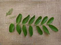 南美树叶子 图库摄影