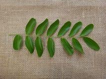 南美树近轴叶子的面孔 库存图片