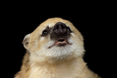 南美浣熊,在黑背景的美洲浣熊 库存图片