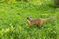 南美浣熊,美洲浣熊美洲浣熊,在自然栖所 从热带森林野生生物场面的动物从绿色 库存照片