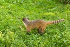 南美浣熊,美洲浣熊美洲浣熊,在自然栖所 从热带森林野生生物场面的动物从绿色 免版税图库摄影