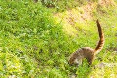 南美浣熊,美洲浣熊美洲浣熊,在自然栖所 从热带森林野生生物场面的动物从绿色 免版税库存图片