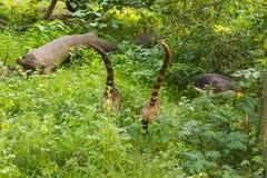 南美浣熊,美洲浣熊美洲浣熊,在自然栖所 从热带森林野生生物场面的动物从绿色 库存图片