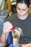 南美浣熊(美洲浣熊美洲浣熊)婴孩 免版税库存图片