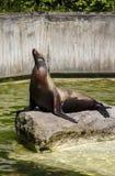 南美海狮, 2015年 免版税库存照片