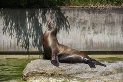 南美海狮, 2015年 库存照片