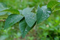 南美番荔枝叶子,关闭绿色叶子 库存照片