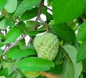 南美番荔枝或番荔枝在树在庭院里 免版税图库摄影