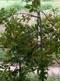 南美番荔枝树 图库摄影