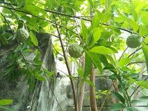 南美番荔枝树 库存图片