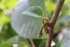 南美番荔枝的芽 免版税库存图片