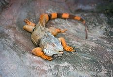 从南美的鬣鳞蜥 库存图片