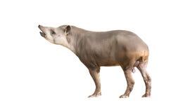 南美貘或被隔绝的巴西貘 免版税图库摄影