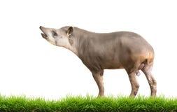 南美貘或被隔绝的巴西貘 免版税库存照片