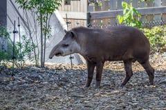 南美貘或貘类动物terrestris 免版税库存照片