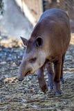 南美貘或貘类动物terrestris 库存图片