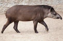 南美貘貘类动物terrestris 库存照片