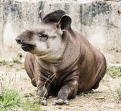 """南美貘-貘类动物terrestris †""""秀丽本质上 库存图片"""