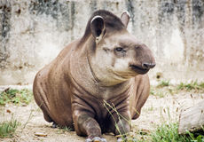 南美貘(貘类动物terrestris),动物场面 免版税图库摄影